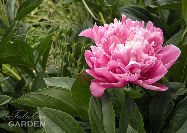 Fall is the time to move peony plants--learn how in this post