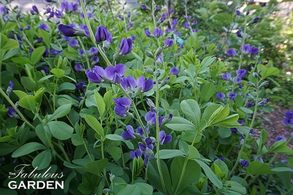 Plant profile: Baptisia