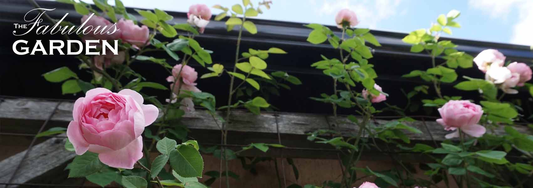 Notes On Pruning Climbing Roses The Fabulous Garden