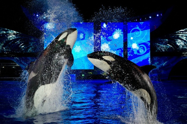 Killer whales at the Christmas show at Sea World Orlando, FL photo by Killergeek.com
