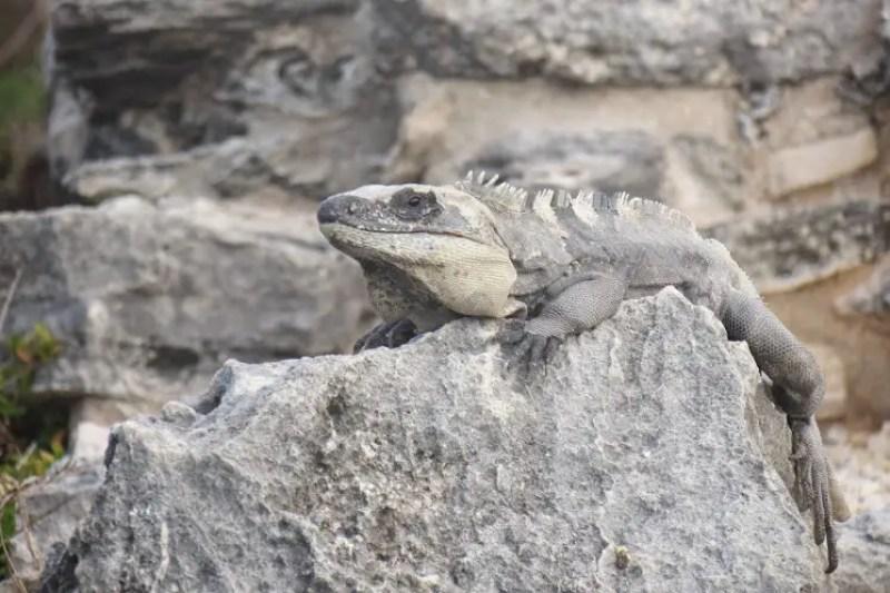 Iguana Riviera Maya