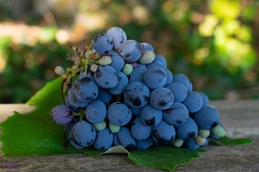 Napa Valley, California, purple grapes, wine