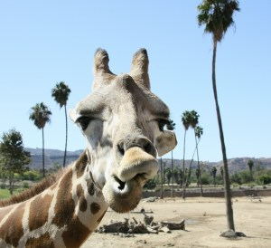 california vacations, giraffe, san diego zoo