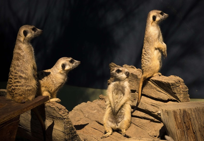 Kgalagadi Transfrontier Park in South Africa, meerkat, Parks in south Africa