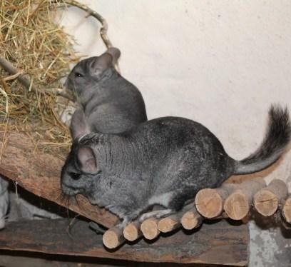 exotic pet care, chinchilla