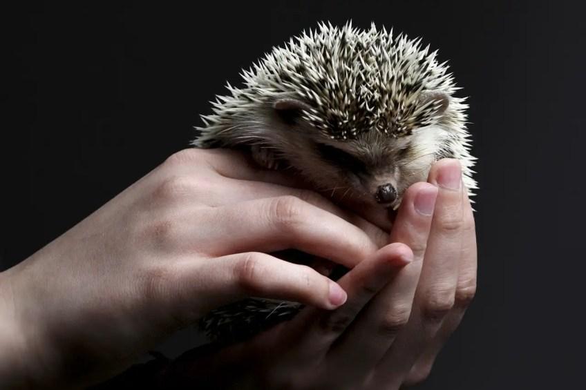 pet care, exotic pets, hedgehog