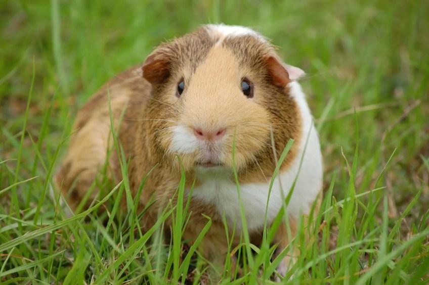guinea in the grass guinea pig adoption
