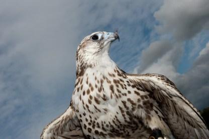 falcon against blue sky
