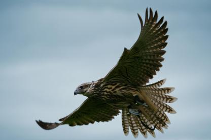 flying longwing raptor