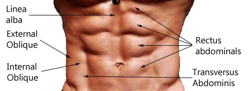 abs anatomy