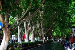 Wutong Tree.jpg
