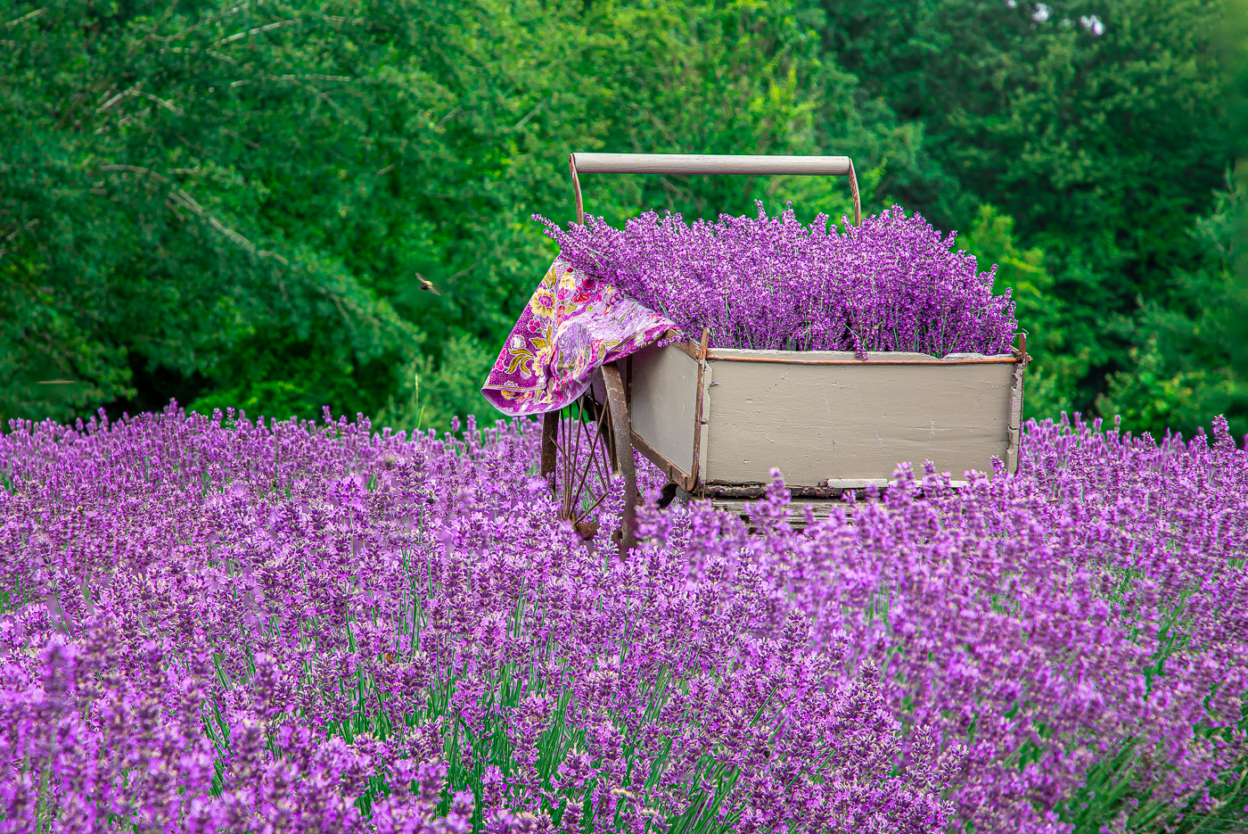 Massachusetts Lavender Farm