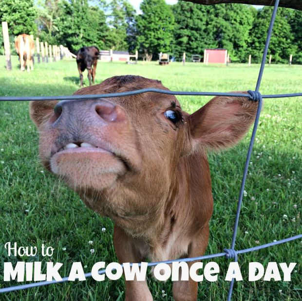 milk once a day 3