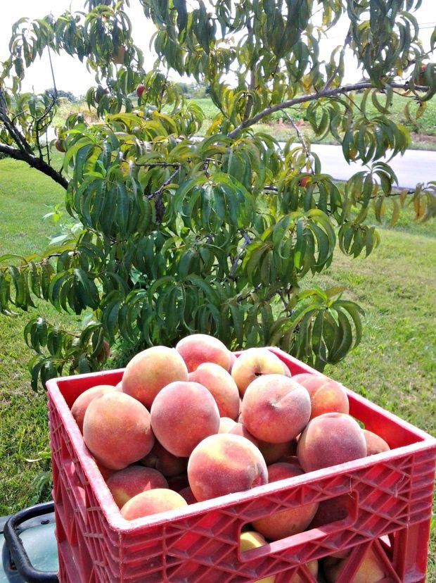 peach 3