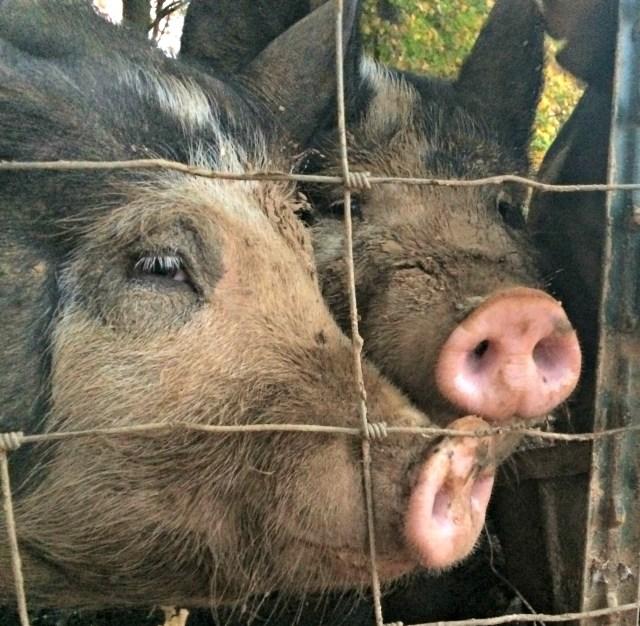 pig-load-4-1