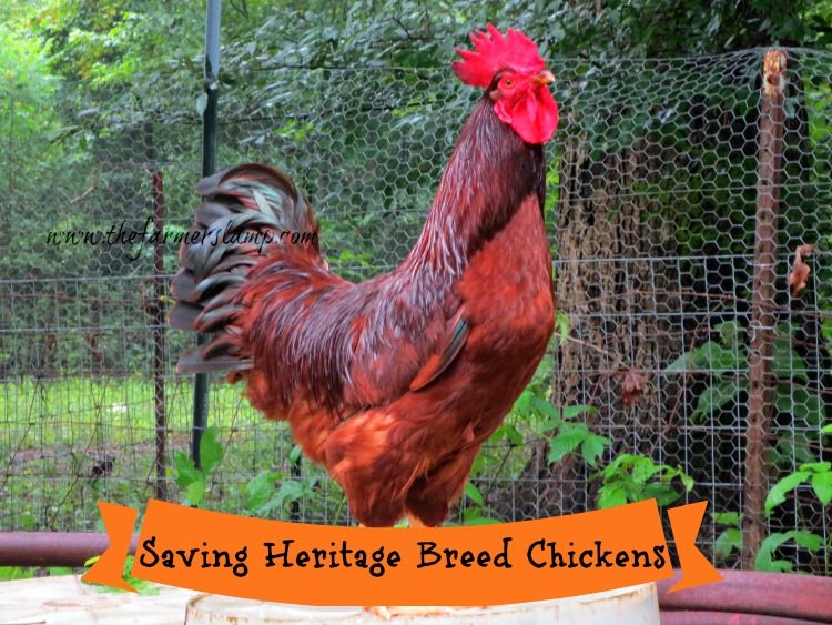 Saving Heritage Breed Chickens The Farmers Lamp