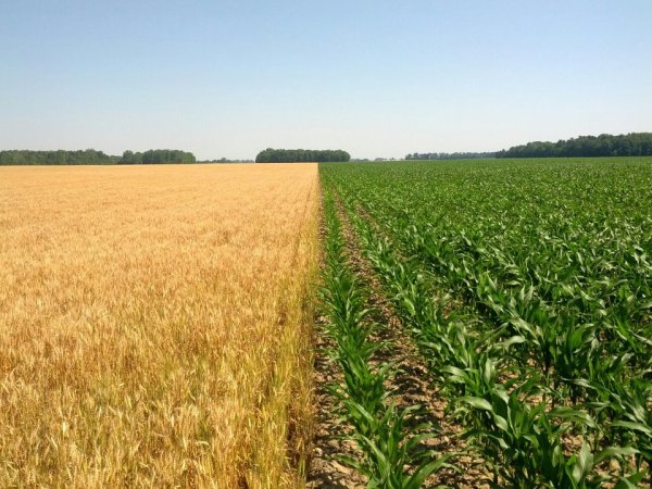 A photo from June 2012 of our wheat and corn in adjacent fields.  The wheat has changed color because it's nearly mature and ready for harvest.