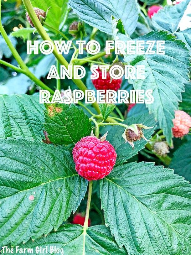 backyard gardening, berry garden, berry gardening, clean eating, freezing homegrown raspberries, gardening blogger, homegrown is the best, homegrown raspberries, How to Freeze and Store Raspberries