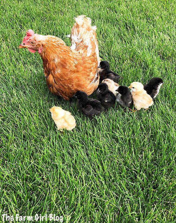 baby chicks, backyard farming, broody hen, chickens, Hatching Eggs by a Broody Chicken, hatching eggs naturally, home raised chickens, love farming