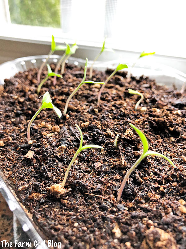 Tomato plants are one of the easiest vegetables to start growing indoors from seeds. You need to start this process about four to six weeks before the last spring frost date in your region.
