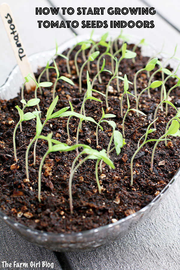 How to Start Growing Tomato Seeds Indoors
