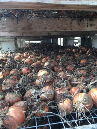 Onions on racks in the greenhouse