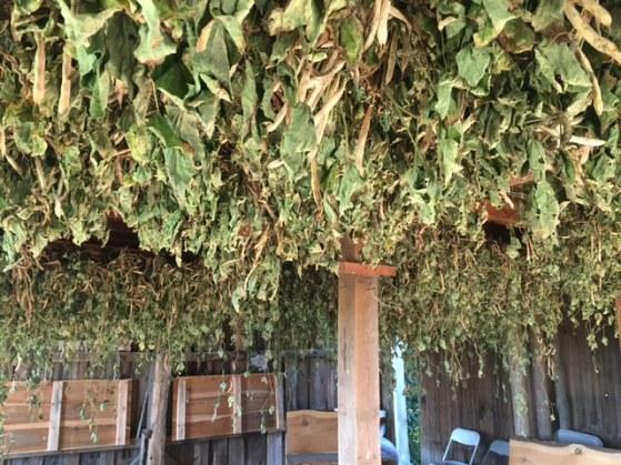 Beans drying in the HorseBarn