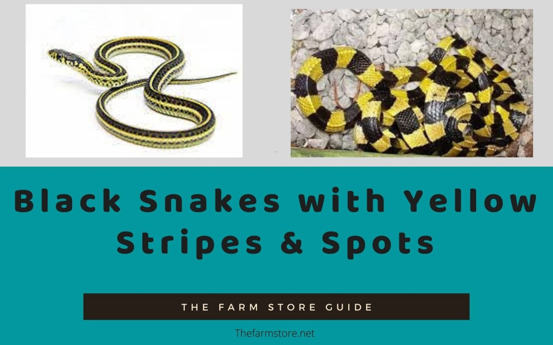 Black Snakes with Yellow Stripes, Belly & Spots