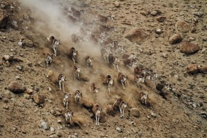Argali running in Northwest China, photographed by DAI Zhigang