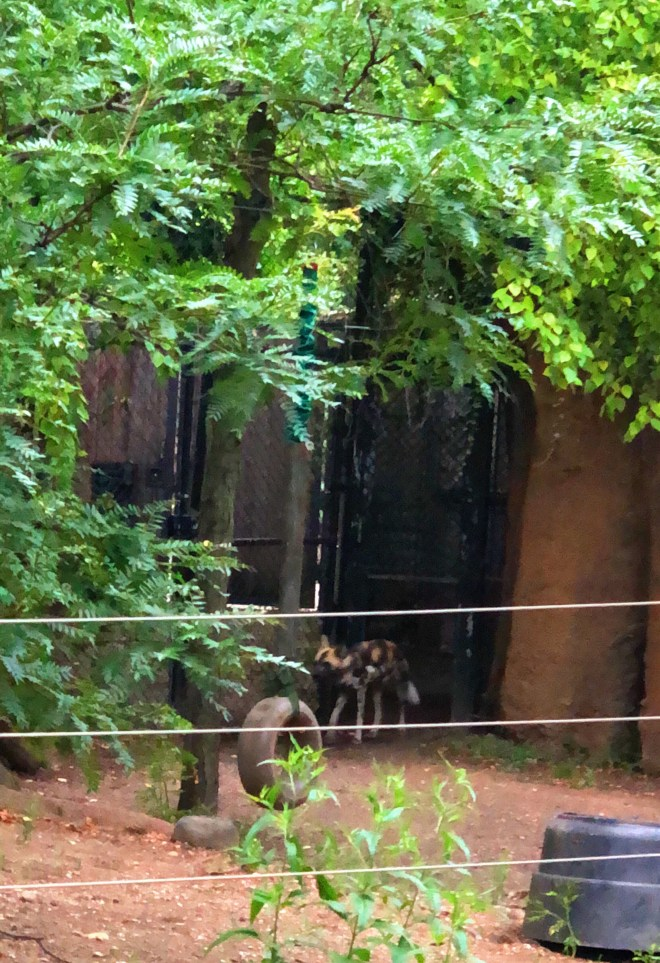 #nightatthezoo, Lincoln park zoo, Chicago zoo, zoo animal, #adultnightatthezoo, chicago blogger, african dog
