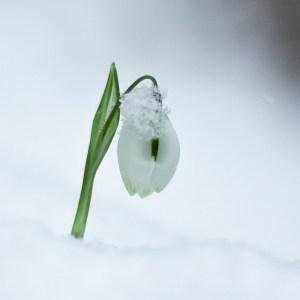 snowdrop harold.lloyd flickr