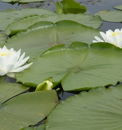 lily pads [ 4896 x 3672 Pixel ]
