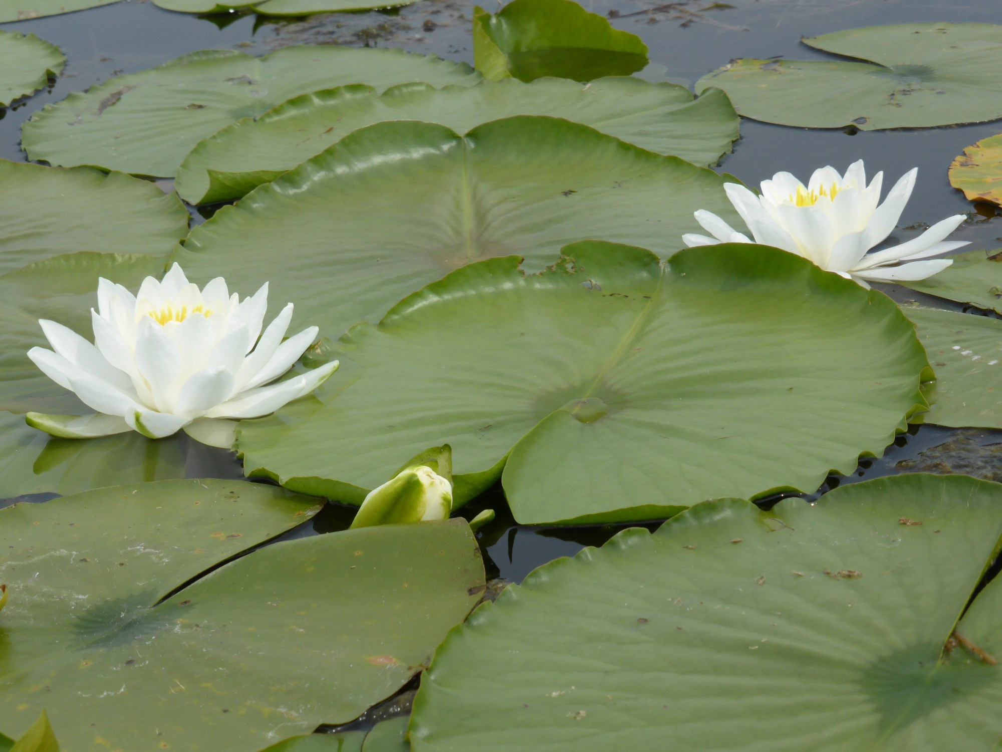 hight resolution of lily pads
