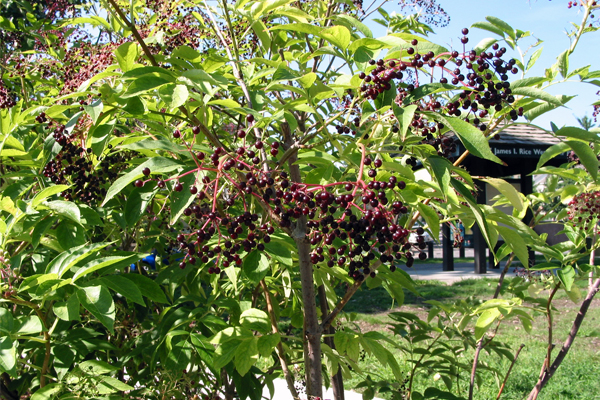 Elderberry image: Andrea Weber