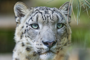 Shy now leopard. Image Source: Tambako The Jaguar, Flickr, Creative Commons