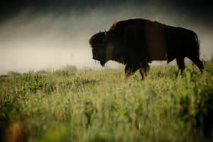 Buffalo in the mist. Image Source: Loren Kerns, Flickr, Creative Commons