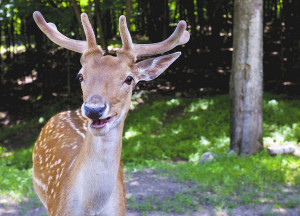 Image Source: Jamie McCaffrey, Flickr, Creative Commons One relieved deer. You'd be smiling too, if you just realized it was a camera being pointed at you and not a hunter with a gun.