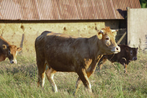 Image Source: stanze - on the move, Flickr, Creative Commons Cows and calf