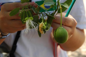 Image Source: Valerio Pillar, Flickr, Creative Commons DSC_3824 Capparis speciosa (toxic for humans, but good forage for ruminants). Old village of Pintado (N of Wichi).