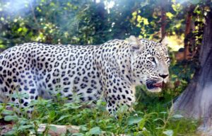 Persian Leopard Image Source: Pixabay