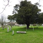 The traditional yew tree.