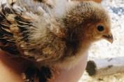 Cuckoo-roo