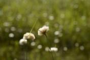 I really like Cotton Grass