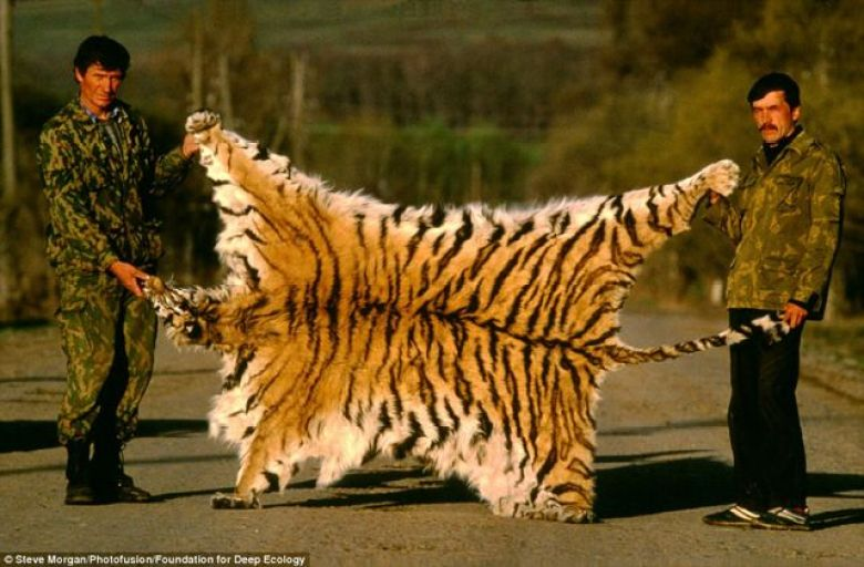 Siberian tiger skin recovered from poachers