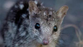 Photo of a Northern Quoll