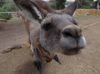 KangarooNose