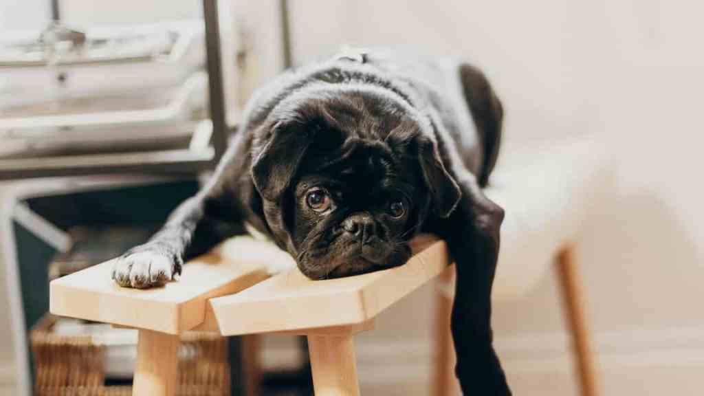 a pug that could motivate lazy employees