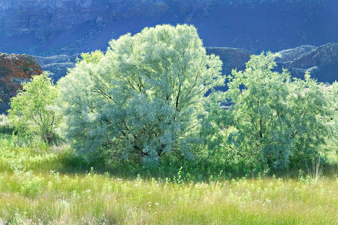 Russian Olives in Coulee