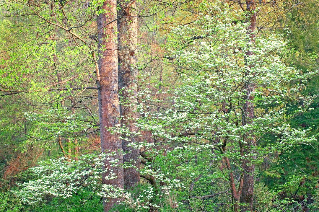 Tennessee Spring Forest