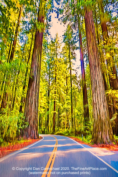 Giant redwoods along 'The Avenue of the Giants in North California